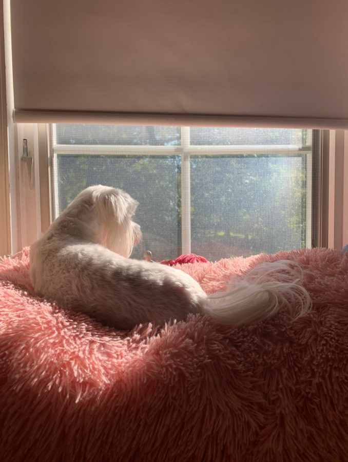 A dog named Penny looks out of the window on a sunny morning in Flossmoor. Penny is stuck inside of the house just like everyone else during the COVID-19 pandemic.